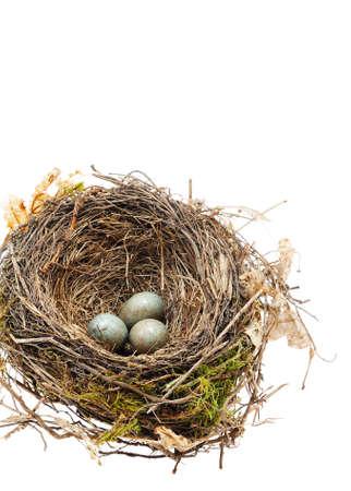 nido de pajaros: Detalle de huevos de mirlo en nido aislados en blanco