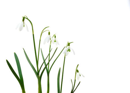 Group of growing snowdrop flowers  isolated on white background photo