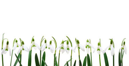 flowers horizontal: Group of snowdrop flowers  growing in row,  isolated on white background