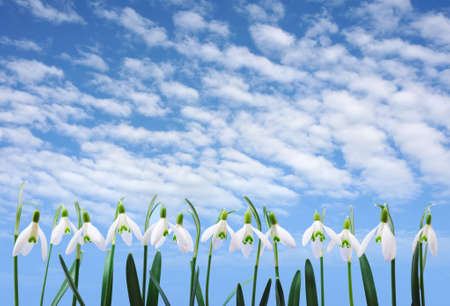 Group of snowdrop flowers  growing in row over sky with clouds photo