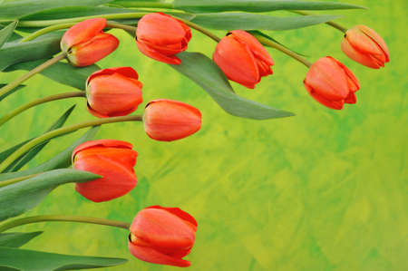 Group of red tulips over colored background photo