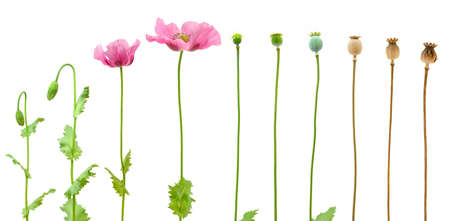 Evolution of Opium poppy isolated on white background photo