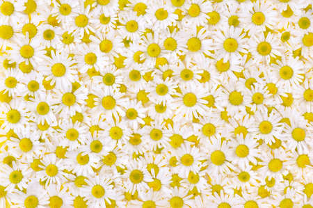 elevated view: Group of Chamomile flower heads - background