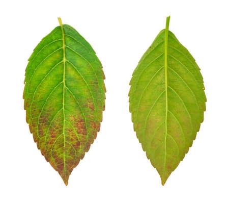 dode bladeren: Zieke blad van hortensia serrata Blue Bird - schimmel aangevallen Stockfoto