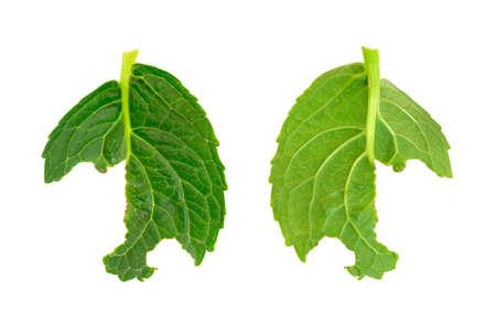 hydrangea macrophylla: Slug damage of Hydrangea macrophylla leaf Stock Photo