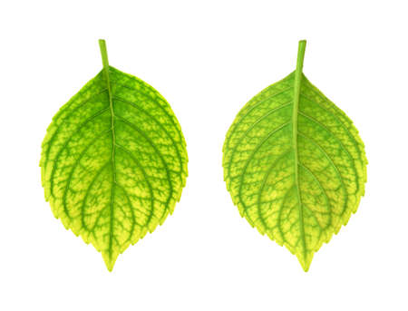 deficiency: Iron deficiency of Hydrangea macrophylla leaf - chlorosis Stock Photo
