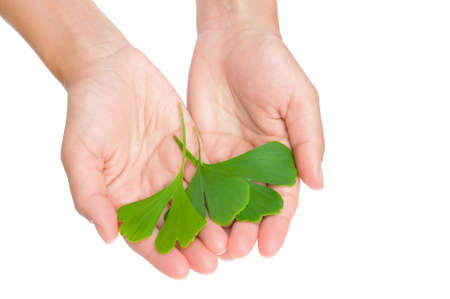 Hands of young woman holding ginkgo leaves photo
