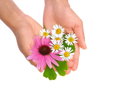 above head: Hands of young woman holding herbs - echinacea, ginkgo, chamomile