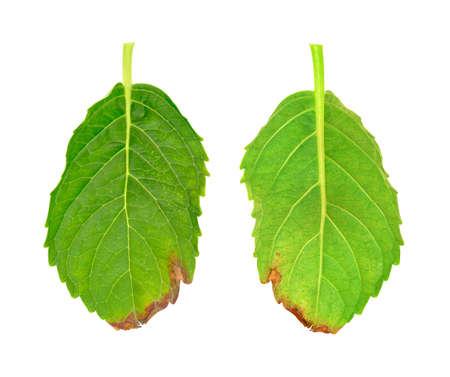 dode bladeren: Zieke blad van de Hydrangea serrata Blue Bird - schimmel aangevallen