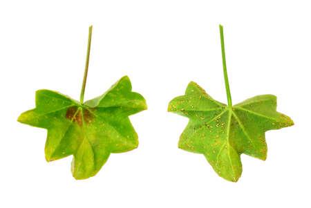 lesions: Diseased leaf of  Pelargonium peltatum  - water-soaked lesions  - cork cells