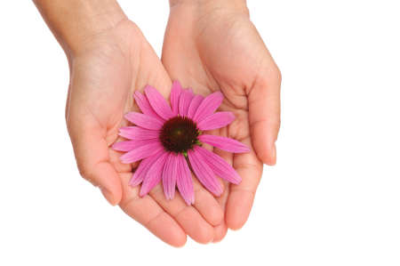 daises: Hands of young woman holding Echinacea flower Stock Photo