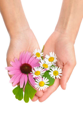 Hands of young woman holding herbs - echinacea, ginkgo, chamomile photo