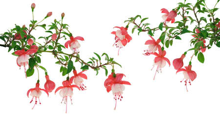 Fuchsia flowers over white background Stock Photo - 10750434