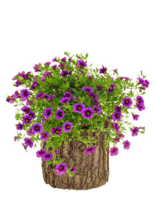 annual: Petunia, Surfinia flowers on tree trunk over white background Stock Photo