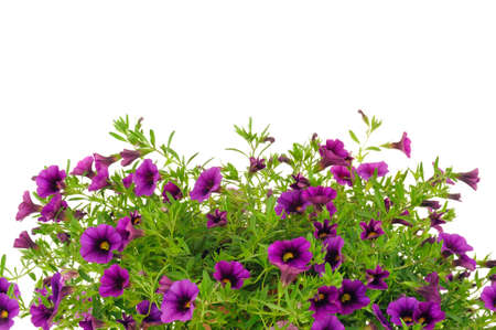 Petunia, Surfinia flowers over white background Stock Photo - 10750439