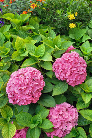 hydrangea macrophylla: Flowering  Hydrangea macrophylla shrubs in garden