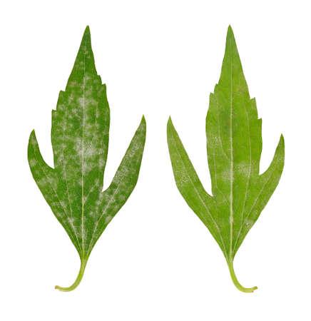 atacaba: Hojas enfermas de Rudbeckia laciniata Flore Pleno - hongos atac�