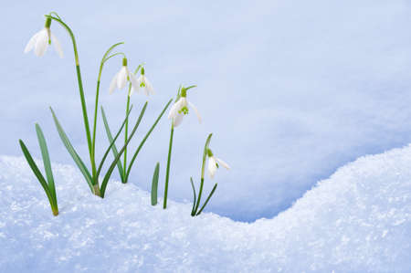 Group of snowdrop flowers  growing in snow photo