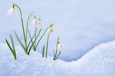 Gruppo di fiori bucaneve crescente nella neve Archivio Fotografico