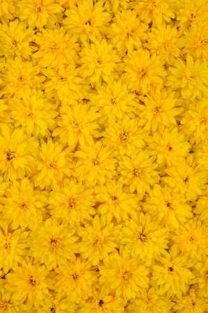 mass flowering: Group of Rudbeckia laciniata flower heads – yellow daisy background