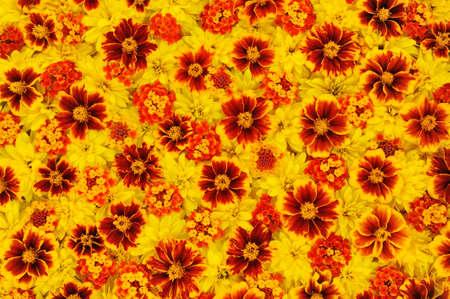 flower structure: Rudbeckia laciniata, Lantana camara, Tagetes - flower heads Stock Photo