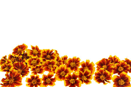 marigolds: Marigold  flower heads over white background