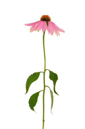 Echinacea purpurea  flower over white background photo