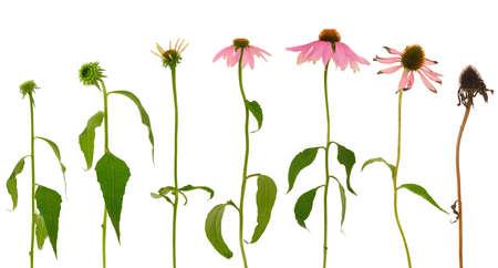 Evolution of Echinacea purpurea  flower  isolated on white background