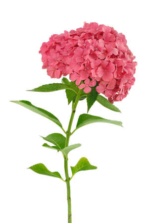 Hydrangea macrophylla  flower  isolated on white background Standard-Bild