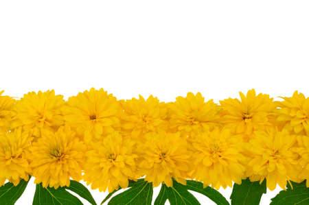 Rudbeckia laciniata flower heads  in row Stock Photo - 10973115