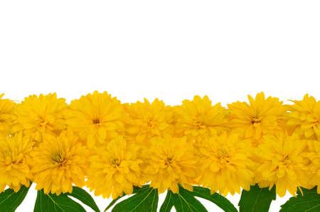 Rudbeckia laciniata flower heads  in row photo