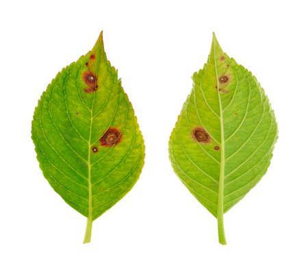 lesions: Diseased leaf of  Hydrangea serrata Blue Bird � fungus Cercospora Stock Photo