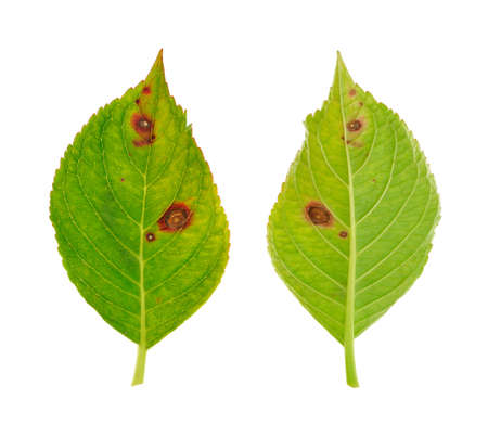 Diseased leaf of  Hydrangea serrata Blue Bird – fungus Cercospora Standard-Bild