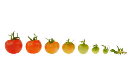 ripening: Evolution of red tomato isolated on white background