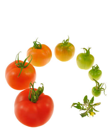 ripen: Evolution of red tomato isolated on white background