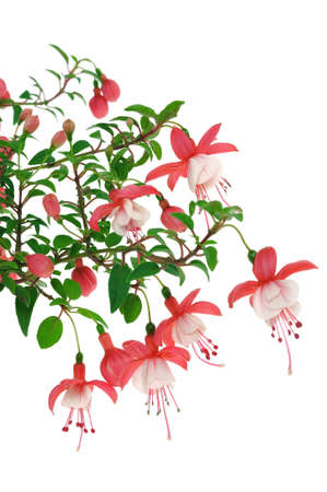 Fuchsia flowers over white background Standard-Bild