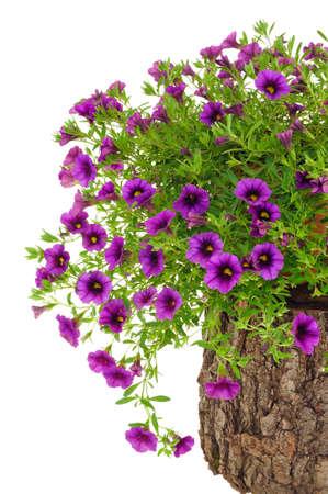 Petunia, Surfinia flowers on tree trunk over white background Standard-Bild