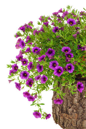 Petunia, Surfinia flowers on tree trunk over white background Stock Photo