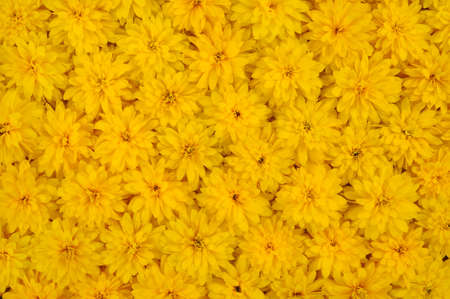 Group of Rudbeckia laciniata flower heads � yellow daisy background