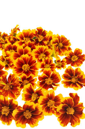 Marigold  flower heads over white background photo