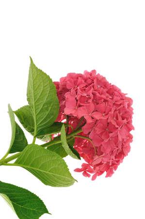 hydrangea macrophylla: Hydrangea macrophylla  flower  isolated on white background Stock Photo