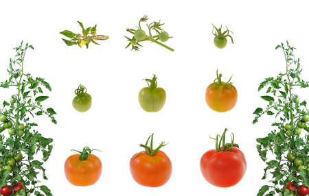 Evoluci�n de tomate rojo sobre fondo blanco photo