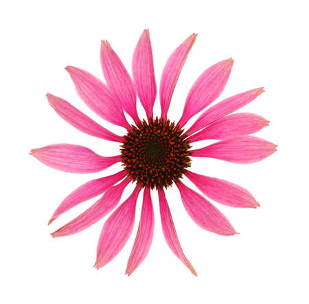 Echinacea purpurea flower head isolated on white background