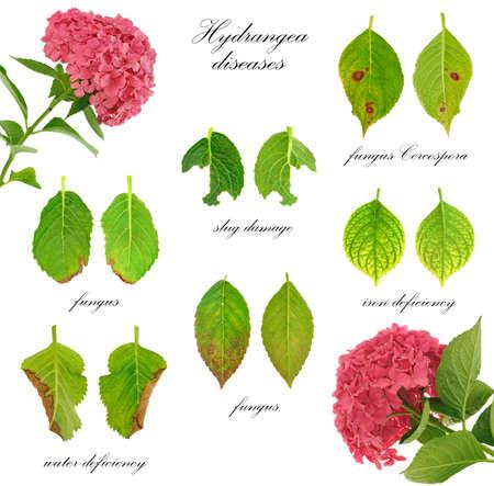 babosa: Enfermedades de Hydrangea macrophylla flores aisladas sobre fondo blanco