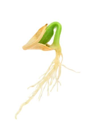 germinación: Planta de calabaza que crece de la semilla, aislado en blanco Foto de archivo