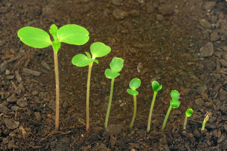 seedling growing: Sequence of Impatiens balsamina flower growing, evolution concept Stock Photo