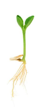 germination: Planta de calabaza que crece de la semilla, aislado en blanco Foto de archivo