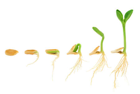 seedling growing: Sequence of pumpkin plant growing isolated, evolution concept Stock Photo