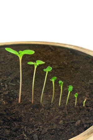 germinación: Secuencia de Impatiens balsamina el cultivo de flores, concepto aislado, la evolución Foto de archivo