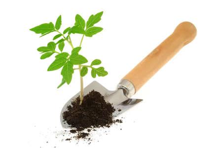 shovel in dirt: Tomato seedling on garden trowel, isolated on white